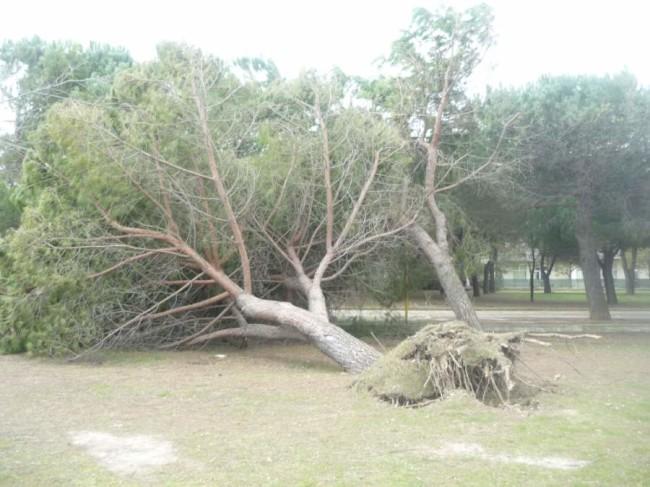 pino divelto dal maltempo nel quartiere Annunziata