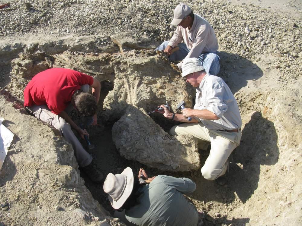 Anche UniCam nel team internazionale che ha scoperto il più antico antenato delle balene